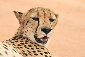 Jachtluipaard (cheeta) van