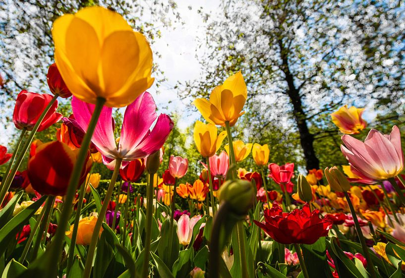 Tulpen richting de Zon van Brian Morgan
