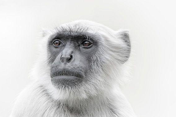 Apen portret