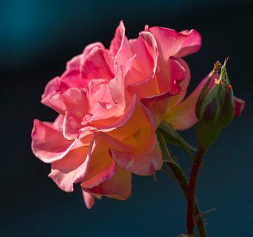 Roos van Ingrid Ronde