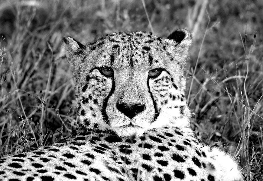 Rustende cheetah van Jan van Reij