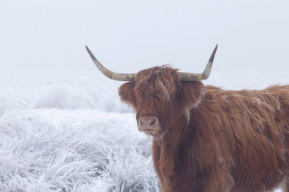 Schotse hooglander in met rijp bedekt veld