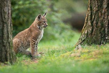 Luchs / Eurasischer Luchs (Lynx lynx), Jungtier auf einer Lichtung im Wald, schaut konzentriert, Eur von wunderbare Erde