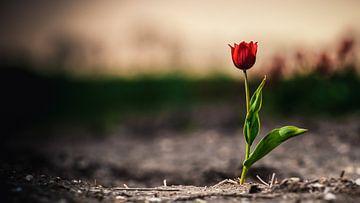 Eenzame rode tulp in een bollenveld akker van