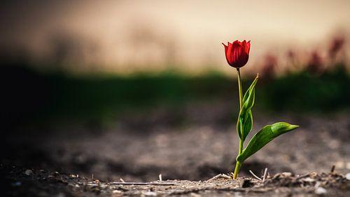 Eenzame rode tulp in een bollenveld akker