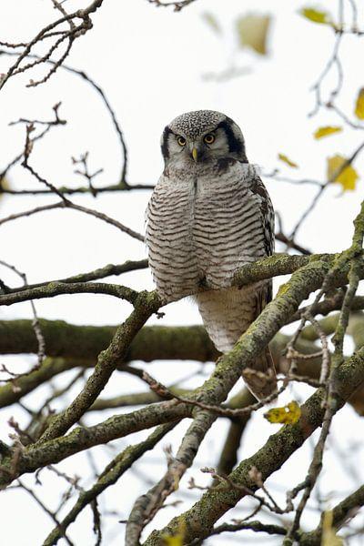 Northern Hawk Owl * Surnia ulula * van wunderbare Erde