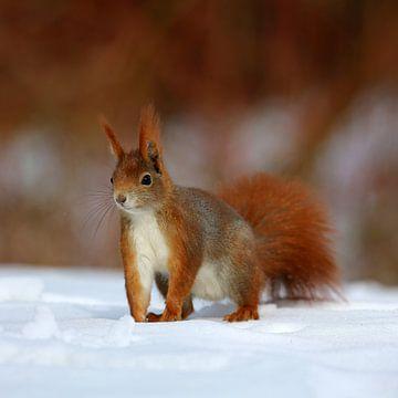 Eichhörnchen van Marcel Schauer