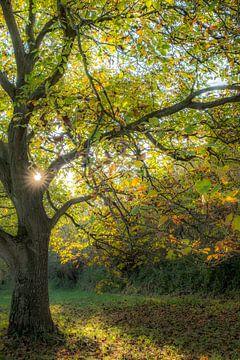 Oude notenboom met herfstkleuren von Moetwil en van Dijk - Fotografie