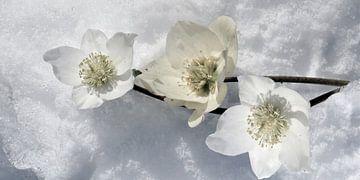 sneeuw Rozen van Christine Nöhmeier