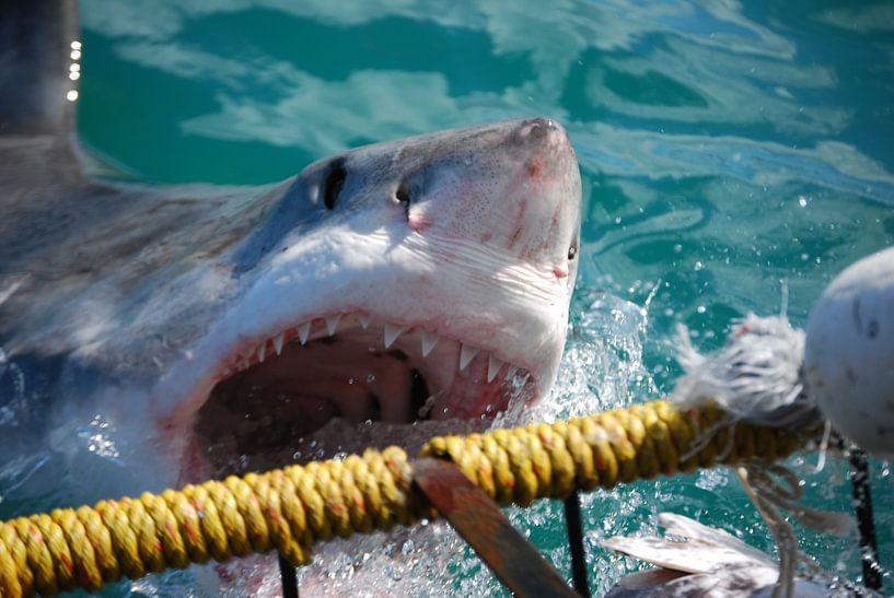 Haaienbek van Frank Heinen