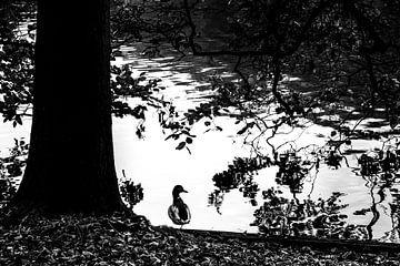Rustende eend in het Haagse Bos. von Aukelien Minnema