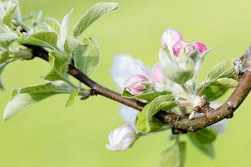 Appelbloesem van Daan van Oort