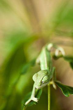 Chameleon von