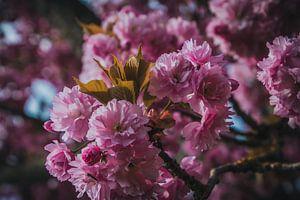 Roze lente bloesem van