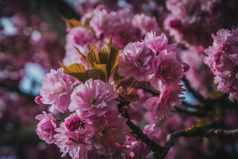 Roze lente bloesem van Koop je Canvas