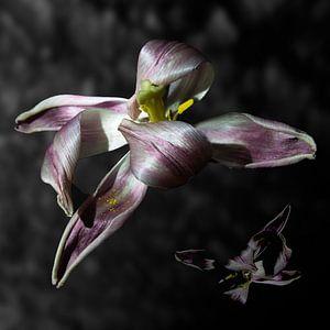 De oude tulp