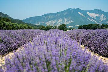 Lavendelvelden in bloei in de Drome Frankrijk van Marjo Kusters
