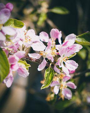 Appelbloesem in bloei van Daphne Groeneveld