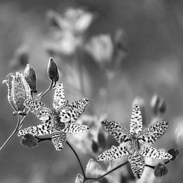 Nostalgische Sternblume in Schwarz Weiß von Carmen Varo