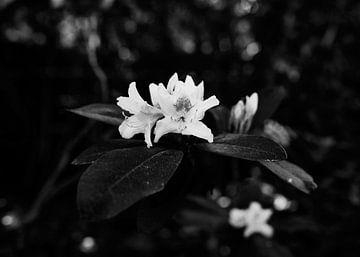 Kersenbloesem van Iritxu Photography