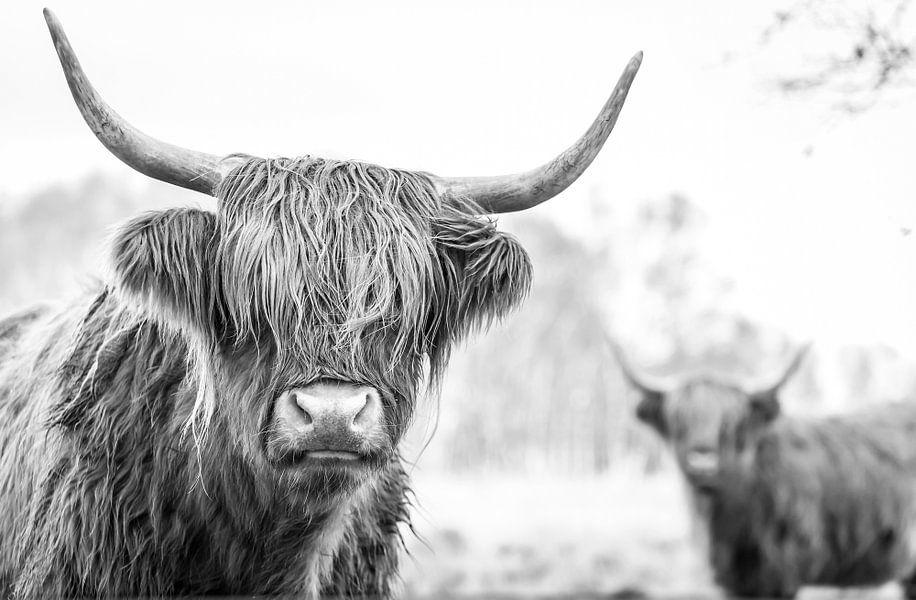 Schotse Hooglanders in natuurgebied Jiltdijksheide (zwart/wit) van Martijn van Dellen