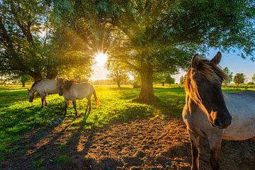 Konik-Pferd in der Natur mit schönem Licht von Bas Meelker
