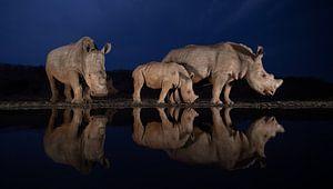 Twee neushoorn families in de avondschemering van Peter van Dam