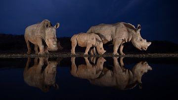 Zwei Nashornfamilien in der Abenddämmerung von Peter van Dam