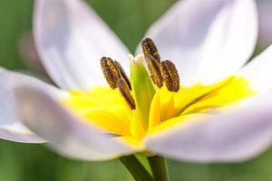 Tulpe von Albert Mendelewski