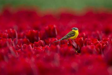 Gele kwikstaart in tulpenveld van Christien van der Veen