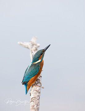 De IJsvogel van Rogier Broertjes