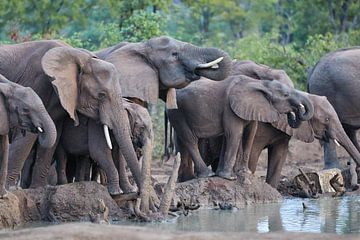 Herde von trinkenden Elefanten von Jolene van den Berg