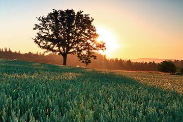 Alleenstaande boom bij zonsopgang van Jonathan Vandevoorde