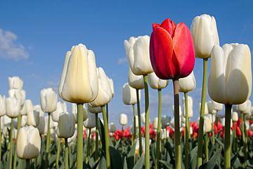 Rode tulp en witte tulpen van