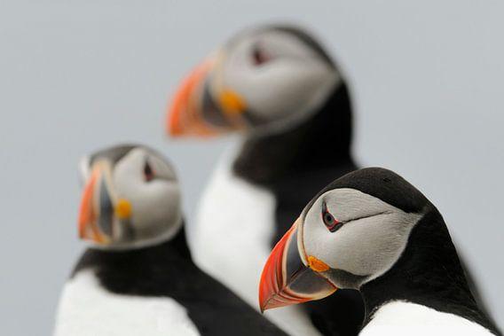 Papegaaiduikers
