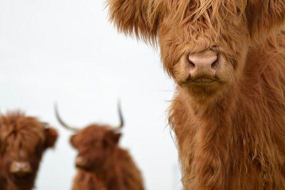 Schotse hooglanders 3 koppen