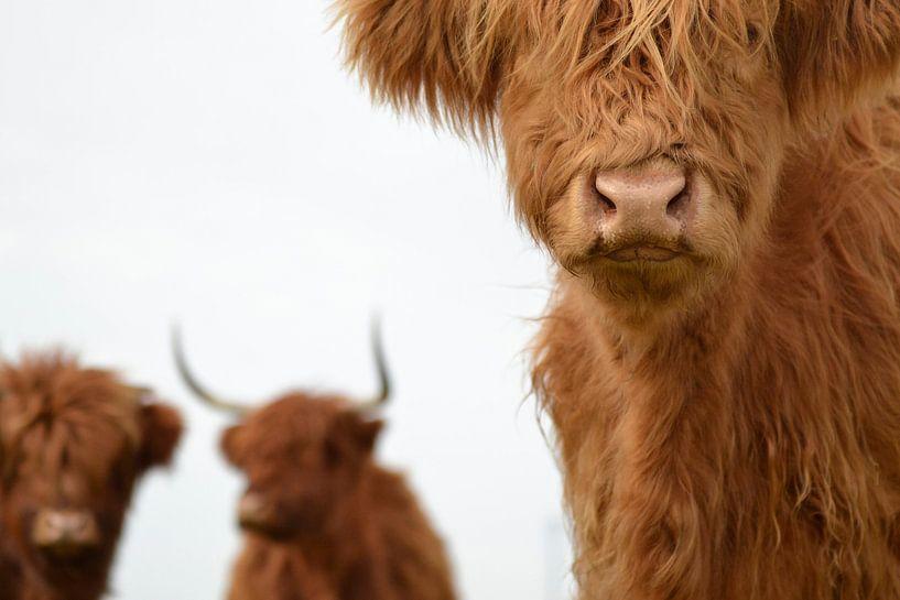 Schotse hooglanders 3 koppen van Sascha van Dam