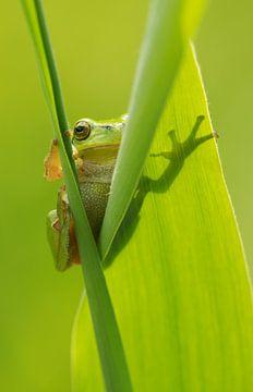 Boomkikker kijkt om de hoek vanachter rietblad van Jeroen Stel