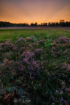 Blühendes Heidekraut bei Sonnenuntergang von Jenco van Zalk