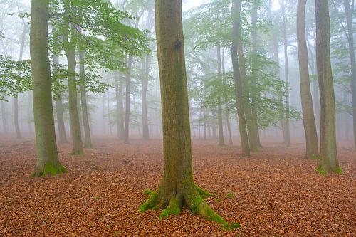 Mistige ochtend in het Leuvenumse bos op de Veluwe