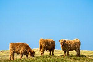 Hooglanders op Texel