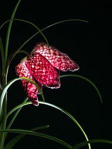 Heldere dambord bloem