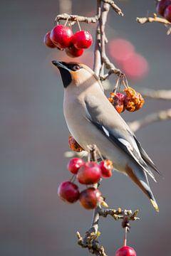 Vogels | Pestvogel onder kroon van appeltjes van Servan Ott