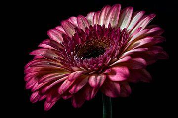 Gerbera rosa Farbe Stillleben Fotografie
