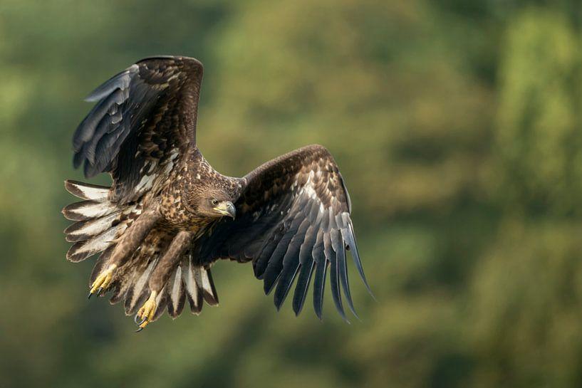White-tailed Eagle in flight van wunderbare Erde
