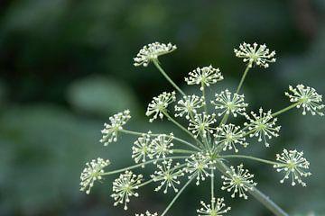 Weiße Schirm Blume von whmpictures .com