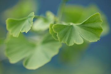 Close-up van groene Ginkgo bladeren met blauwe achtergrond van Cor de Hamer