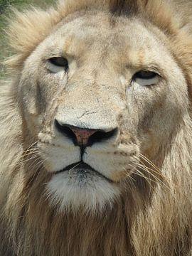 Leeuw close up von Robin van Tilborg