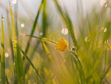 Butterblume im Bokeh-Gras von Tania Perneel
