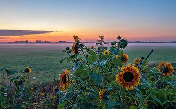 Sonnenblumen bei Sonnenaufgang in einer Polderlandschaft auf Walcheren von Marcel Klootwijk
